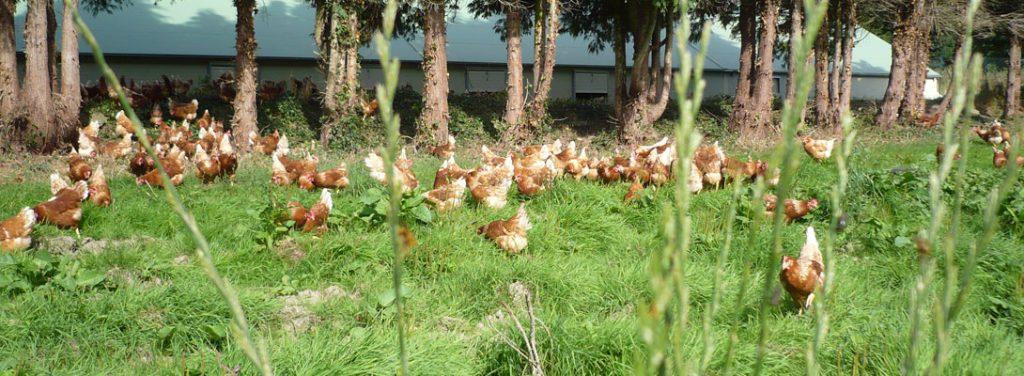 Poules au pré