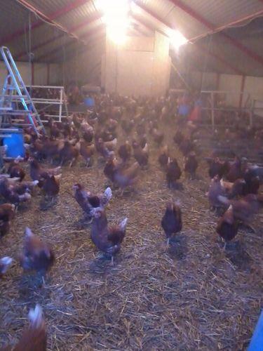 Les poulettes arrivées dans leur nouveau poulailler.