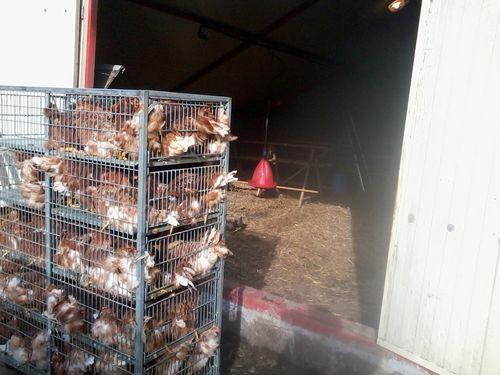 Les poulettes entassées dans les cages de transport. Mais c'est pour leur bien sinon elles pourraient être ballotées de droite et gauche pendant le trajet.