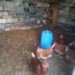 poules dans le poulailler