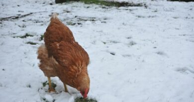 Poule dans la neige en hiver